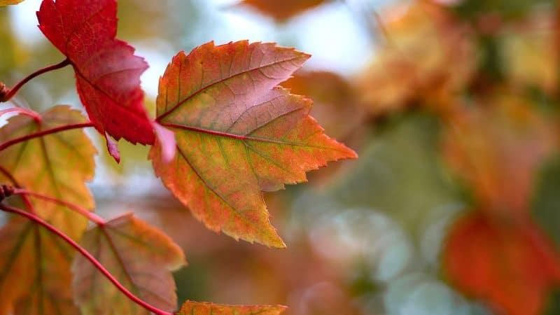 Photo of maple leaves.