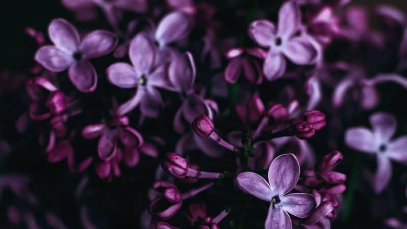 Photo of small purple leaves and buds